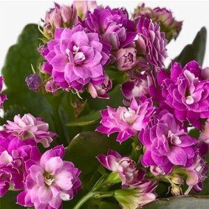 Kalanchoe calandiva flor morada