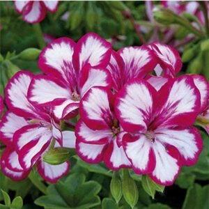 geranioo mallvachina pelargonium grandilflorum-chino