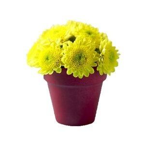 maceta de crisantemo 4
