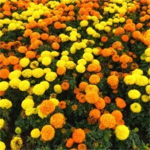 comprar tagetes y copetes naranjas y amarillos