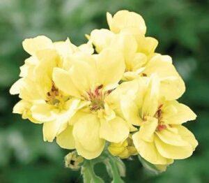 geranio amarillo de flores