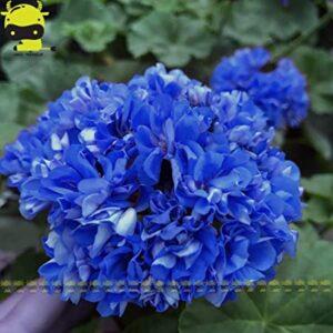 geranio azul
