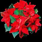 Comprar planta de navidad o Flor de pascua