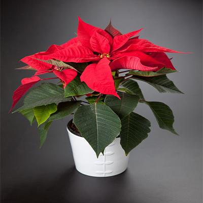 flor de pascua poinsetia roja