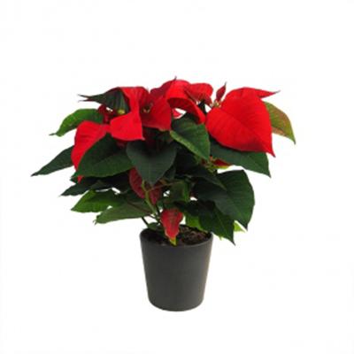 planta de la navidad en maceta
